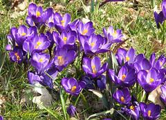 Krokusse in der Frühlingssonne (CH.E.G.Fotografie) Tags: krokusse frühlingsboten frühjahrblüher blumen pflanzen