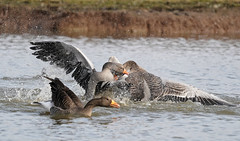 Greylag Geese Scrapping (dr brewbottle) Tags: goose bird geese scrap greylaggoose greylag water