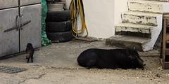 Petit et grand cochons (8pl) Tags: rue extérieur ivalino lanyu taïwan cochon porc animal endormi île pneus escaliers placard grille sol couché