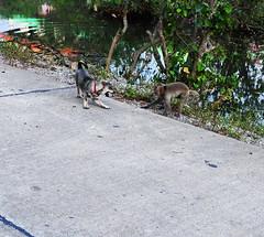 ,, Mickey & The Monkey ,, (Jon in Thailand) Tags: dog puppy babymickey swamp wildlife monkey primate ape k9 red green pink puppyprimate nikon nikkor d300 175528 puppytoy jungle themonkeytemple toyforpuppy puppycollar reflection littledoglaughedstories
