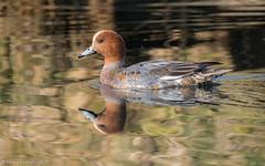 Canard siffleur (DorianHunt) Tags: birds bokeh switzerland february 2019 nikond500 sigma 150600mm eurasianwigeon