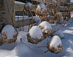 Wintry flowers. (Leszek W :)) Tags: leszekwronski dmcg85 winter flowers snow park panasoniclumixdmcg85 panasonicdmcg85 panasonicg85 panasonic mft m43 lumixdmcg85 lumixg85 lumix 12603556