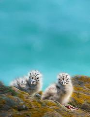 Sea gull chicks (Lorrainemorris) Tags: wexford ireland lorrainemorris seabirds life nature salteeislands cute rock blue zeiss gmaster sony7rm2 chicks birds gull seagulls