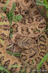 Great Basin Rattlesnakes (cameronrognan) Tags: crotaluslutosus insitu utah greatbasinrattlesnake courtship mating fieldherping wildlifephotography copyrightcameronrognan