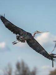 Blue Heron Over Belmar (Max and Dee) Tags: blue heron bird sony a7r3 a7r iii