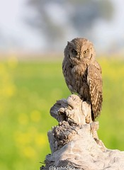 IMG-20180107-WA0006 (TARIQ HAMEED SULEMANI) Tags: sulemani tariq tourism trekking tariqhameedsulemani winter wildlife wild birds nature nikon