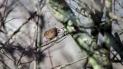 a Wren - un Troglodyte (2/2) (Franck Zumella) Tags: bird oiseau nature hidden hidding cacher wildlife tree arbre branch branche wren troglodyte mignon sony a7s a7 tamron 150600 animal