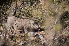 Warthog (mplatt86) Tags: warthog trees south africa african bush safari savannah logs travel holiday honeymoon
