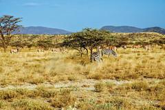 Kenya Samburu by Dietmar Reigber - 103 (Dietmar Reigber) Tags: 2018 africa africanaturereserves africawilderness beisaoryx beisaoryxsamburu beisaoryxsamburukenyaafrica dietmarreigberphotography drysavannavegetation drygrass fujifilmxt2 kenya natureinafricakenya samburu yellowgrass lanscape oryx safari zebra