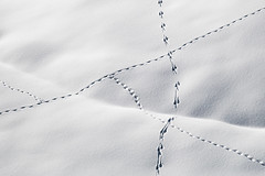 Animal highway (Peter Hungerford) Tags: tracks snow animal hare deer alps switzerland