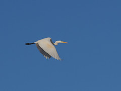 Great egret (Ardea alba, ダイサギ) (Greg Peterson in Japan) Tags: egretsandherons wildlife moriyama 滋賀県 shiga birds ダイサギ 野鳥 japan 守山市 shigaprefecture