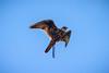Brown Falcon, Puy du Fou, Vendée, France