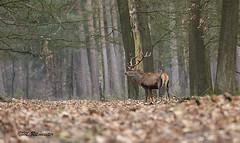 Edelhert / Servus elaphus (m.ritmeester) Tags: ngc naturelovers nederland hoenderloo holland hoge veluwe edelhert bruin bos gelderland groen bladeren bomen