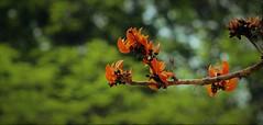 আমার আপন বসন্ত (Synthia Mazumder) Tags: spring flower red phalgun parrottree bloom bokeh বসন্ত পহেলাবসন্ত