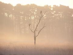 Sunrise (bobbykwibus) Tags: tree boom landschap landscape bird vogel forest bos animal dier natuur nature mist fog misty sunrise