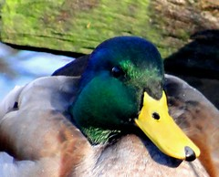 February Friday Duck (EcoSnake) Tags: ducks mallards wildlife waterfowl february winter idahofishandgame naturecenter