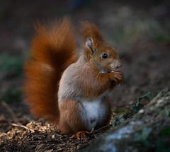 Rosso (Eros Penatti) Tags: scoiattolorosso sciurusvulgaris monza parcodimonza italia lombardia