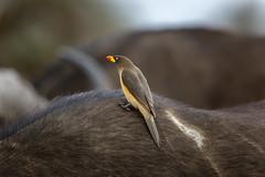 Yellow-Billed Oxpecker (Sheldrickfalls) Tags: yellowbilledoxpecker buphagusafricanus oxpecker geelbekrenostervoel buffalo africanbuffalo buffel buffels satara sataracamp s100 mpumalanga southafrica krugernationalpark kruger krugerpark