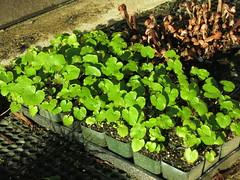 Wasabia japonica 'Daruma' (meizzwang) Tags: wasabia japonica daruma wasabi real deal cultivation outdoors northern california propagation