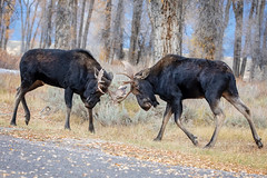 Sparring Partners... (DTT67) Tags: moose bullmoose fighting sparring alces mammal wyoming tetons 5dmkiv canon nature wildlife