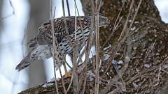 Autour des palombes_070A5167 (d.jauvin) Tags: épervier autour québec autourdespalombes northerngoshawk accipitergentilis