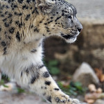 Profile of a walking snow leopard thumbnail