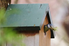 Are We Moving In Or Out ? (MedievalRocker) Tags: bluetit nestbuilding
