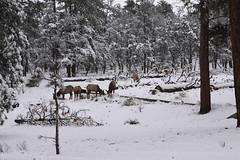 IMG_8705 (patterpix) Tags: grandcanyon arizona snow trees winter canyon storm