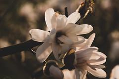 (matthiasolschewski) Tags: goldenestunde tokinaatxpro100f28afdmacro makro pflanzen tokinaatxpro10028afdmacro frühjahr