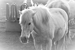 chevaux en Camargue  19C_3969 (Bernard Fabbro) Tags: cheval camargue horse