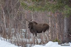 Norwegian Moose (kevin-palmer) Tags: norway scandinavianmountains arctic march winter snow snowy nikond750 moose wildlife animal nikon180mmf28 telephoto norwegian skibotn tromscounty forest