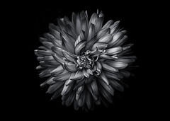 Backyard Flowers In Black And White 20 (thelearningcurvedotca) Tags: briancarson canada thelearningcurvephotography toronto abstract art background backyard beautiful beauty blackandwhite bloom blossom bunch close closeup contrast dark decoration delicate detail flora floral flower fresh garden grown growth leaf light macro monochrome nature outdoors pattern petal photo photograph photography plant round season single spring summer unique vibrant wild awardflickrbest bwartaward bwmaniacv2 bej blackwhite blackwhitephotos blackandwhiteonly bwemotions cans2s discoveryphotos iamcanadian noiretblanc true2bw yourphototips