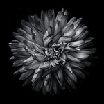 Backyard Flowers In Black And White 20 thumbnail