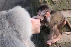 hamadryas baboon amersfoort 094A0053 (j.a.kok) Tags: animal africa afrika aap mammal monkey primate primaat baboon baviaan mantelbaviaan hamadryasbaboon zoogdier dier amersfoort