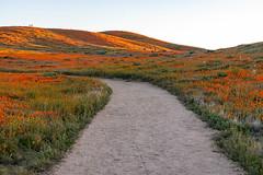 IMG_0516.jpgAntelope Valley Poppy Preserve (tsutomu45) Tags: poppies superbloom california poppy canon 6d eos flowers antelope valley orange nature