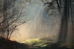 Lumière dans la forêt / Light in the woods (Laurent Castiau) Tags: forest forêt light lumière woods bois sousbois naturallight lumièrenaturelle nature arbres trees canonef70300mmf456lisusm