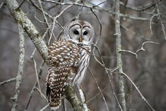 Barred Owl (hd.niel) Tags: barredowl owls wild nature wildlife ontario winter raptor birds nikon