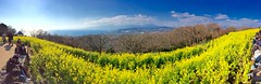 panorama (hamapenguin) Tags: japan kanagawa nature rapeblossom winter park 二宮 吾妻山公園 菜の花 panorama パノラマ apple iphone