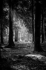 On the secret path (Unicorn.mod) Tags: 2018 autumn september park tree trees dog monochrome blackandwhite blackwhite bw sunlight sunshine canoneos6d canon canonef70200mmf28lisiiusm