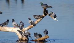 Order (Kaptured by Kala) Tags: rockdove rockpigeon pigeon whiterocklake dallastexas sunsetbay columbalivia log driftwood flock flying chaos feralpigeon bif birdinflight