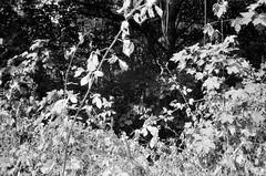Weeds (Matthew Paul Argall) Tags: canonsnappy20 fixedfocus 35mmfilm blackandwhite blackandwhitefilm kentmere100 100isofilm weed weeds plant plants
