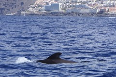 Pilot Whale [3] (Ian R. Simpson) Tags: pilotwhale whale fin losgigantes atlanticocean atlantic ocean sea water waves coast tenerife canaryislands spain