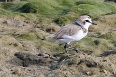 Kentish Plover (Roy Lowry) Tags: praiadefaro riaformosa kentishplover charadriusalexandrinus