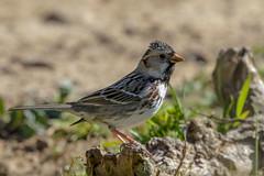 Harris's Sparrow (Alan Gutsell) Tags: harrisssparrow harriss sparrow songbird attwaternwr nationalpark texasbirds texas naturephoto nature wildlife west coast