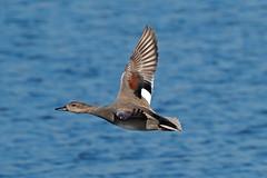 gadwall (DODO 1959) Tags: wildlife gadwall outdoor avian duck birds fauna drake flight nature water animal waterfowl olympus omdem1mk2 micro43 300mmf4 x14 england rspbhamwall somerset torview hide