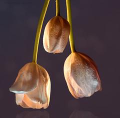 Three wet heads (marianna armata) Tags: tulip macro pink light flower 3 three heads wet water drops mariannaarmata