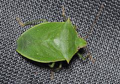 Loxa sp (tristanba) Tags: hemiptera pentatomidae