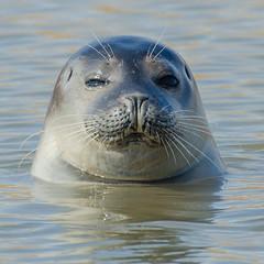 Lazy Eye (Artisanart) Tags: seal mammal sea coast brancaster norfolk nature wildlife