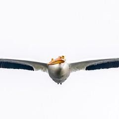#americanwhitepelican #pelican (Andrew_W_Roberts) Tags: americanwhitepelican pelican