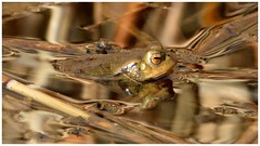 Common Toad. (Jeremy Eyeons) Tags: bufobufo commontoad spring reedbed water amphibian animal reflection